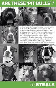 american pitbull terrier akc 111 best spbbc sheboygan u0027s pitbull and billy breed community