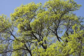 free photo tree tops oak tree forest free image on pixabay
