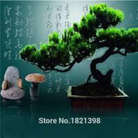 best pinus trees to buy buy new pinus trees