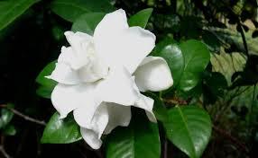 Most Fragrant Jasmine Plant - 5 most beautiful jasmine flowers home so good