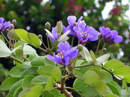 jamaica flower how much do you about lignum vitae jamaica s national