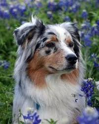 australian shepherd vs blue heeler 143 best my freckles images on pinterest aussies freckles