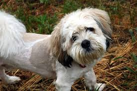 shi poo 10 things to know before you adopt a shih tzu poodle mix puppy toob