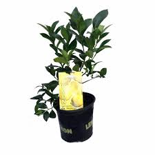 fruit plants u0026 seeds amazon com