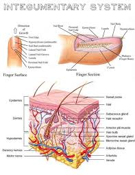 Answer Key For Anatomy And Physiology Lab Manual Best 25 Human Integumentary System Ideas On Pinterest Human