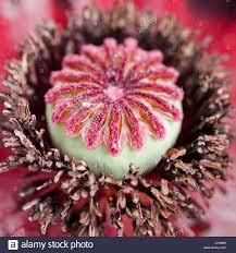 poppy seed head stock photos u0026 poppy seed head stock images alamy