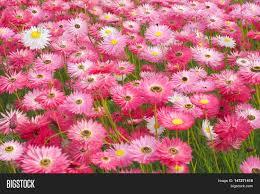 native australian plant mass planting pink paper daisies image u0026 photo bigstock