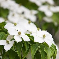 white flowering dogwood kousa dogwood tree for sale fast growing trees
