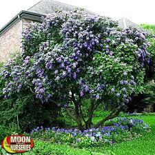 All Year Flowering Shrubs - best 25 laurel bush ideas on pinterest laurel plant mulch