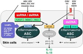 innate and intrinsic antiviral immunity in skin journal of