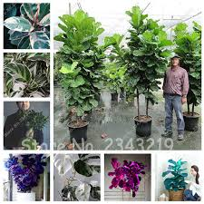 sale garden beautifying ficus religiosa seeds ornamental