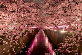 and the 2017 cherry blossom forecast is out guides
