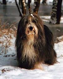 bearded collie brown millieville bearded collies
