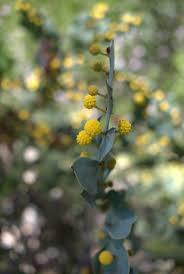 propagating australian native plants 193 best garden images on pinterest native plants australian
