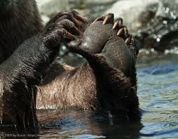 grizzly claws paws don t showing picture grizzly paws dont