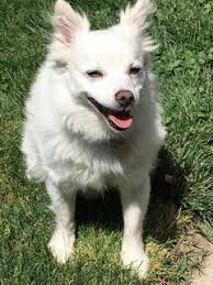 american eskimo dog rescue michigan adoptable pets u2013 almost home animal rescue league and haven