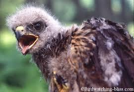 hawk photos adults juveniles