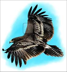 greater spotted eagle clanga clanga line art and full color