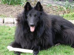 belgian sheepdog registry belgian shepherd groenendael inforamtion and pictures service