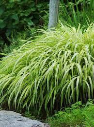 ornamental grasses faddegon s nursery latham ny