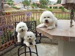 bichon frise therapy dog 218 best images about beautiful bishons on pinterest poodles
