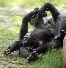 chimpanzee baby ruben playing with surrogate mum at oklahoma city