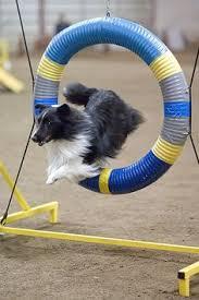 afghan hound agility shetland sheepdog agility seesaw backyard agilty pinterest
