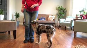 australian shepherd jump height five month old australian shepherd puppy learns attention heel