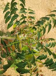 neem tree seeds for sale neem seeds by thinglish lifestyle
