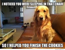 Golden Retriever Meme - 25 charming golden retriever memes sayingimages com