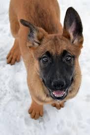 belgian sheepdog breeders ohio our dutch shepherds earn their stripes dutch shepherd puppies
