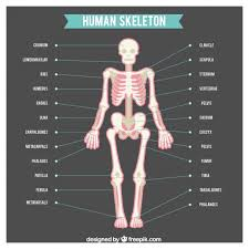 Human Anatomy Images Free Download Human Skeleton With Names Of Body Parts Vector Free Download