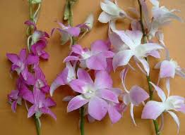 Orchid Cut Flowers - orchids asia orchids collectibles plants vanilla spices resource