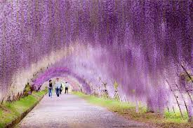 japan flower tunnel the wisteria flower tunnel at kawachi fuji garden twistedsifter