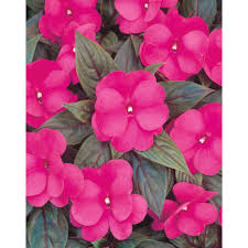 full shade annuals garden plants u0026 flowers the home depot