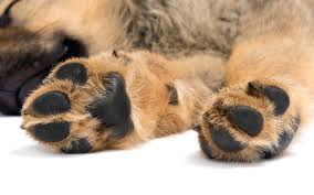 boxer dog feet all natural dog paw care