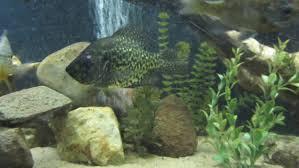 native aquarium plants 125g native tank updated monsterfishkeepers com