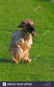 afghan hound dog images afghan hound dog canis lupus familiaris male running on a race