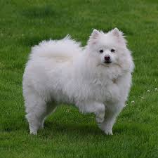 american eskimo dog rescue colorado the 20 best cold weather dog breeds outside online