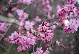 japanese plum trees blossoms of the year