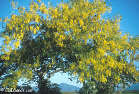 Yellow Flowering Trees - palm tree pictures stock photography of trees