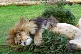 the best way to recycle your christmas tree give it to a lion or