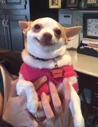 Chihuahua Meme - farrah moan on twitter farrah fact 3 if you want me to love