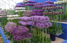 allium flowers how to grow alliums allium flowering onions gardener s supply
