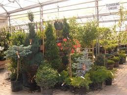 Backyard Privacy Trees 19 Great Plants For Backyard Privacy Cannor Edmonton