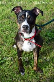 american pitbull terrier mix seattle wa pit bull terrier mix meet hilda a dog for adoption