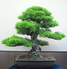 bonsai the of potted miniature tree