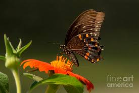 butterfly sideview photograph by rust