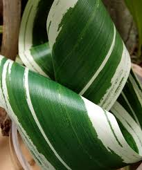 leaf ribbon variegated aspidistra ti leaf floral ribbon