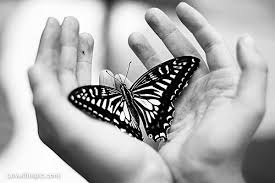 black and white butterfly pictures photos and images for